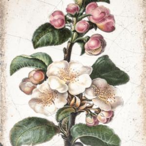 Sid Dickens T462 Apple Blossom 't Maaseiker Woonhuys